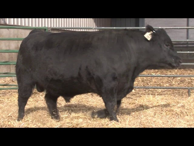Schiefelbein Angus Farms Lot 351