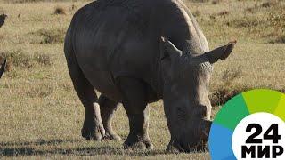 Завещание носорога: как остановить вымирание животных - МИР 24
