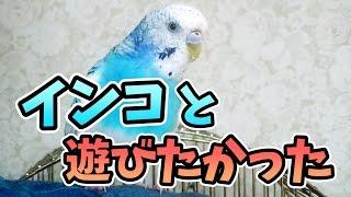 【チャンネル登録】 http://bit.ly/157ehSz 実家のインコと戯れるだけの...