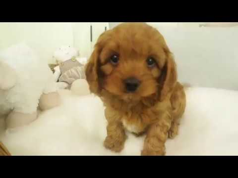Chloe's Toy Cavoodle Boy 7405 - Pocket Puppies