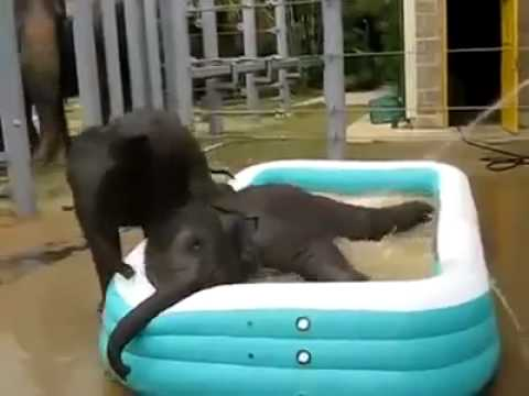 Bebes elefantes jugando en la piscina  Baby elephants playing in
