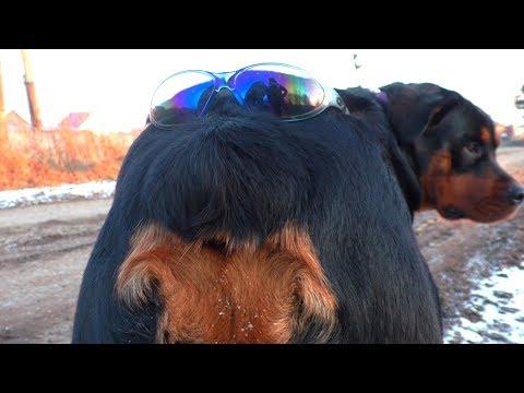 Смешная собака. Очки на попе. Ротвейлер