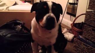 Staffordshire Bull Terrier Talking