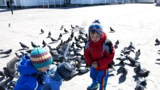 Кормит голубей с рук, ловушка из голубей