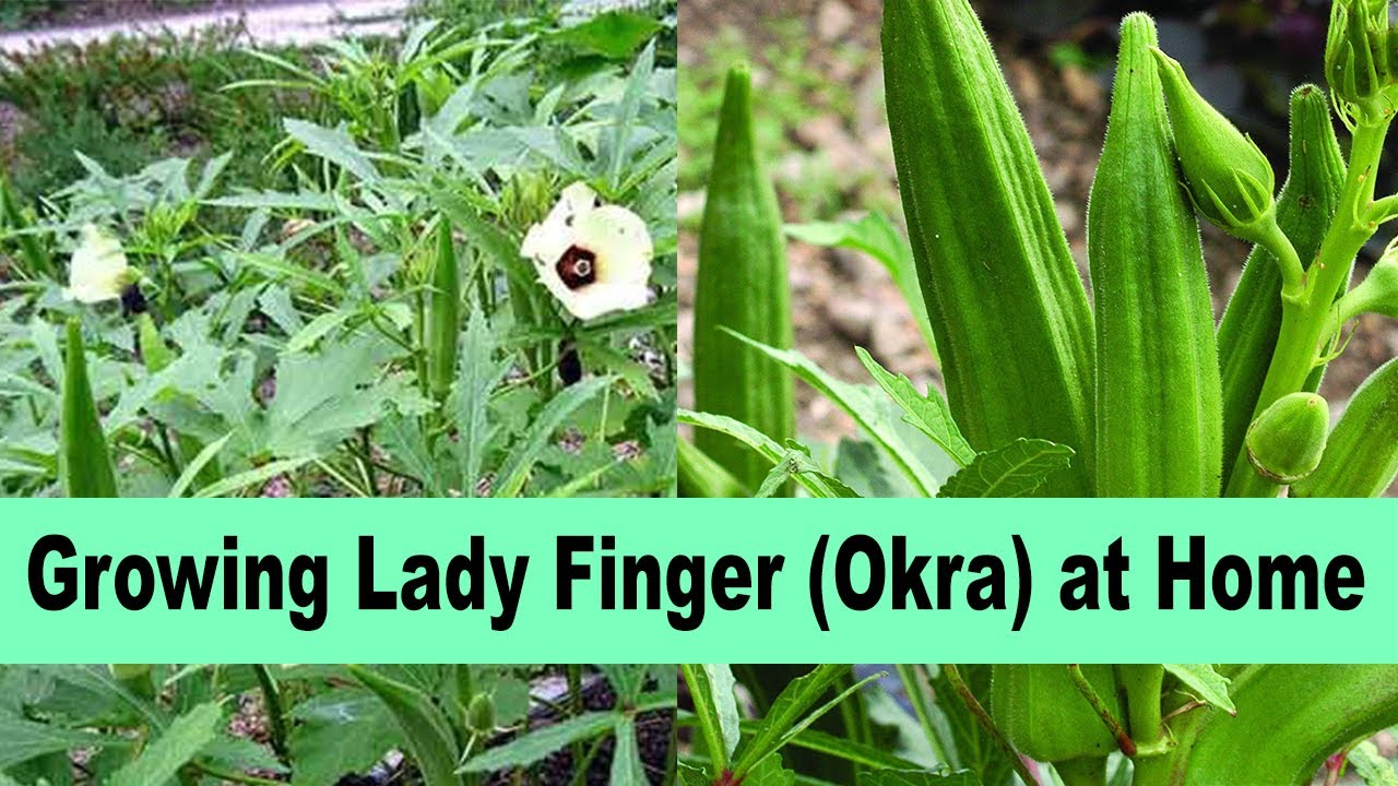 Ladyfingers/Bhindi Kitchen Gardening, Okra Growing At Home Care and Tips