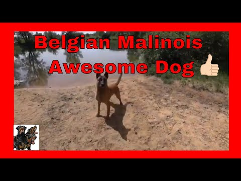Belgian Malinois - Awesome dog