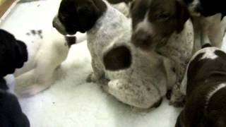 Katelands Gundogs, German Shorthaired Pointer Puppies Aged 3 Weeks 1 Day, 22nd May 2014