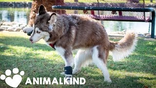 Husky puppy with wiggly walk becomes star of the dog park | Animalkind