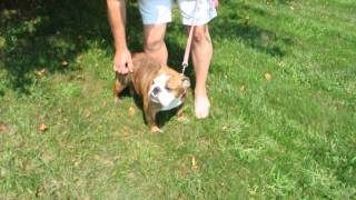 Rescue Pup - English Bulldog - 15 Months Old Available For Adoption