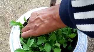 How to Transplant Kale Seedlings