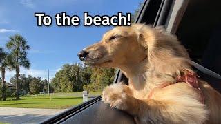 crusoe-daphne-the-dachshunds-get-sand-everywhere