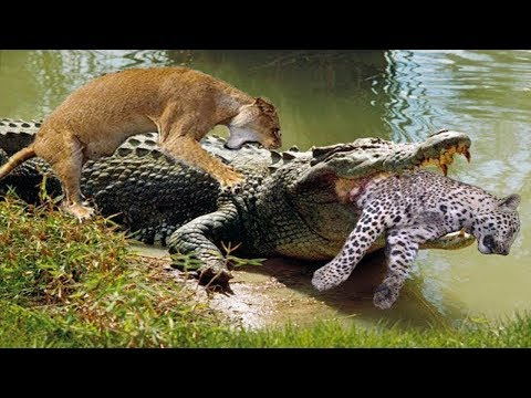 Lion Saves Leopard From Crocodile Mouths | Harsh Life Of Wildlife Leopard Escaped Crocodile Death