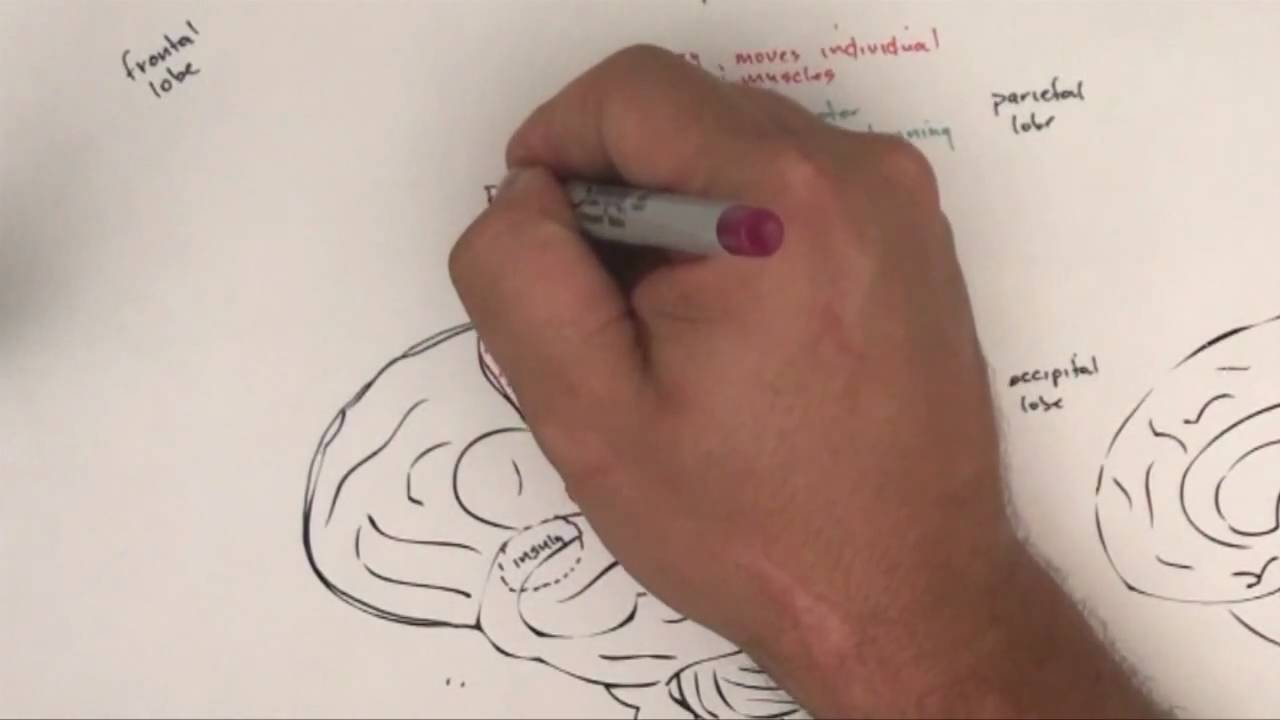 Part 1: Functional Brain Areas - YouTube