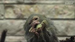 Zwergseidenäffchen - kleinster Affe der Welt - world smallest Monkey
