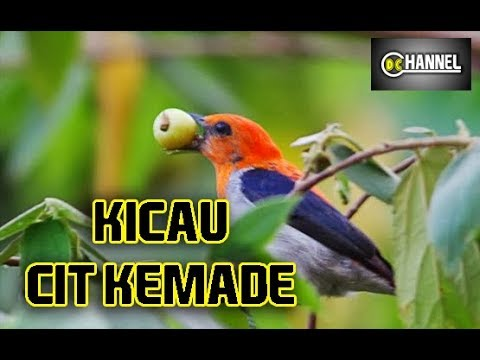 Masteran CIT KEMADE CABE Cabean Gacor KERAS dan HALUS