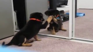 Puppies looking into mirror Compilation