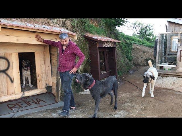 REİNA KULUBESİNİ BEĞENMEDİ BEN ÖZGÜR KIZ OLUCAM DEDİ :)#malaklı #kangal #jackrussell #canecorso #dog