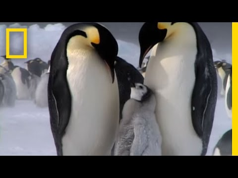 Penguin Parent Patrol | National Geographic