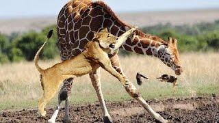 ライオンVsキリン ハイエナが草食動物を狩る【動物界の真実】 【関連動...