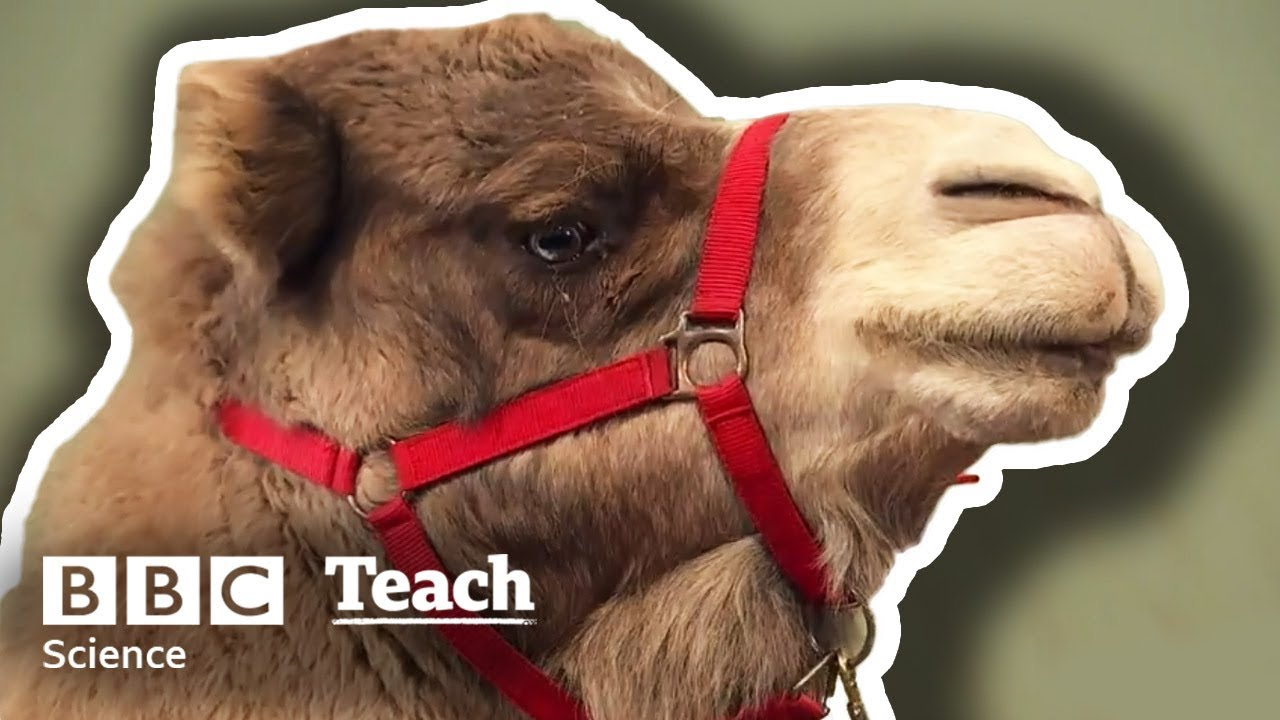 Primary homework help camels get help writing a business plan