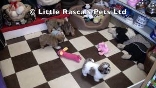 Little Rascals Uk Breeders New Litter Of Shih Tzu's