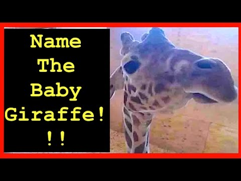 Thumbnail: NAME APRIL THE GIRAFFE'S BABY! Vote for your Fave! Animal Adventure Park Giraffe Cam