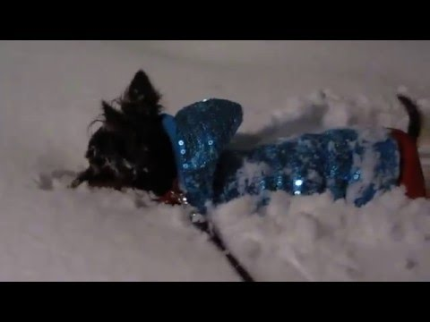 Russian Toy Terrier in snow