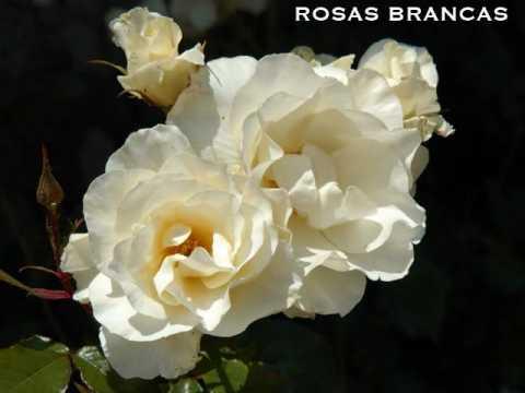 rosas-brancas-adoromusicaportugues