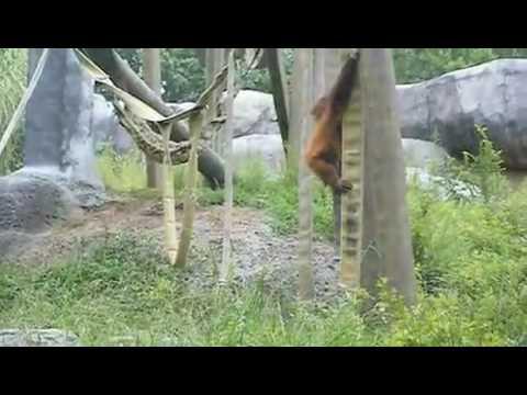 Orangutans at Atlanta Zoo