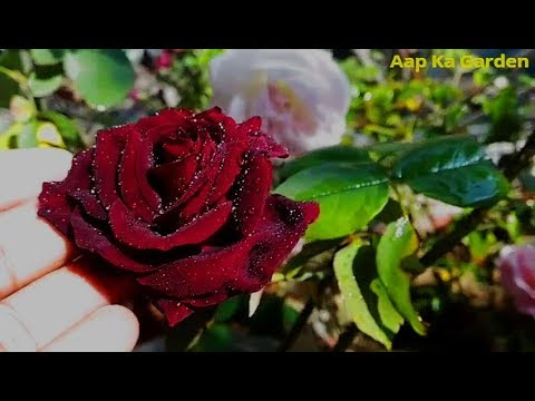 18. How to care Black Baccara Rose plant