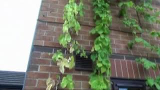 Chmiel w ogrodzie - piwo domowe, domowy browarek