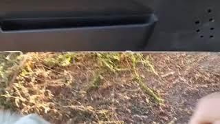 Собачка,похожая на волка