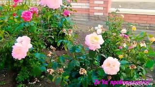 САД и ОГОРОД (июнь 2018) Ростовская обл.( розы, деревья,кустарники). Жара +30°