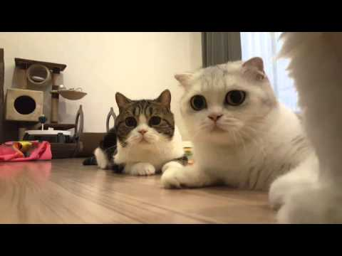 Scottishfold cats are looking at a toy seriously | Cheetah and Cougar