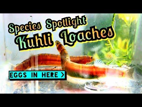 Breeding & Spawning Kuhli Loaches! Species Spotlight. A Nano Tank Shrimp Hunter. Background & Care