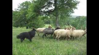 Ronin herding Racka sheep in Hárskút, June 2012