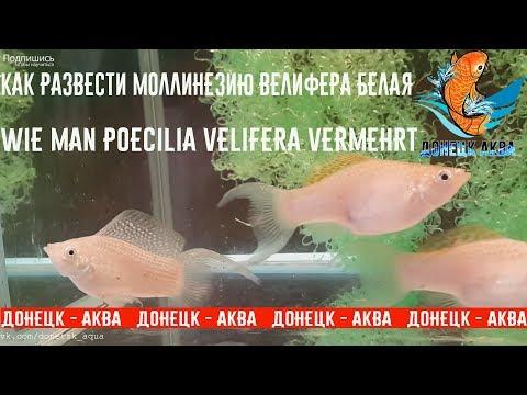 Моллинезия Велифера, Poecilia velifera, как разводить, ухаживать, poissons d'aquarium, conseils