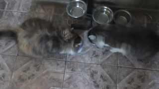 кот и кошка едят
