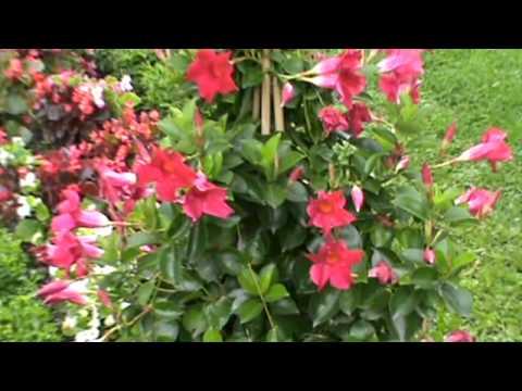 Dipladenia sundaville in lugano 2 youtube for Dipladenia sundaville