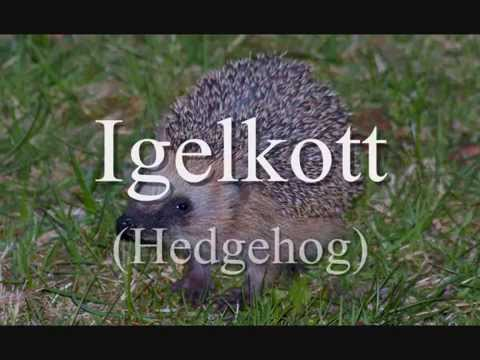 igelkott hedgehog youtube. Black Bedroom Furniture Sets. Home Design Ideas