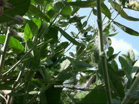 Herbal Medicine - Calotropis gigantea - Natural Remedy for Periodic Fever