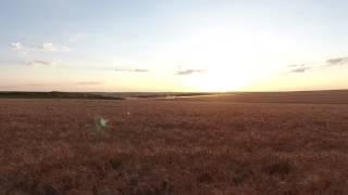 Пшеничное поле в Славянске