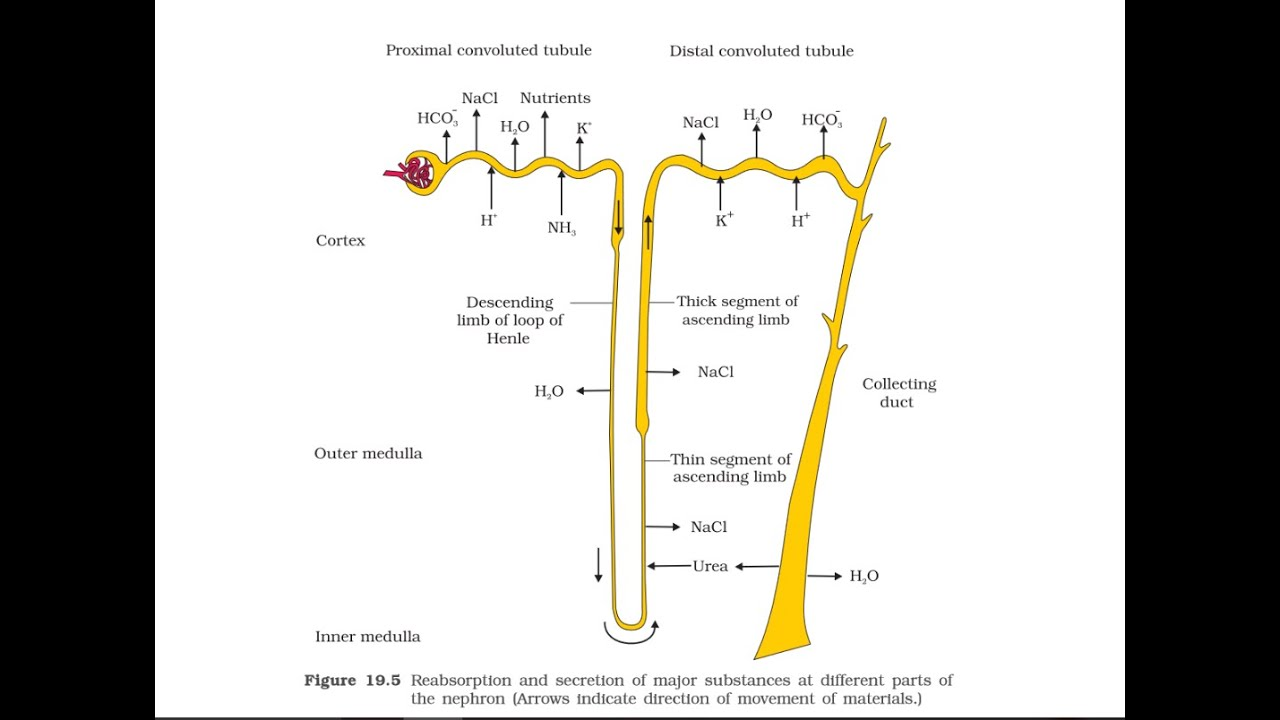 ncert urine formation and tubules function [ 1280 x 720 Pixel ]