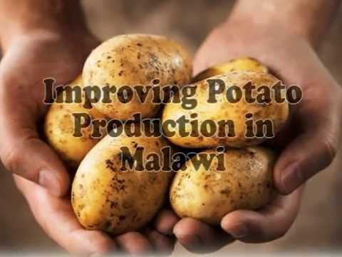 Improving Potato Production in Malawi