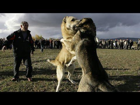 Հայկական Գամփռ,Գելխեղդ/ Армянский Гампр,Волкодав