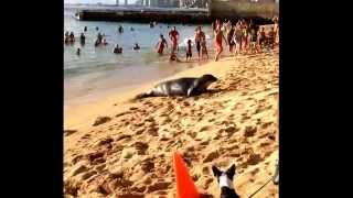 Hawaiian monk seal on the Waikiki beach! ハワイアンモンクシール@ワイキキのカイマナビーチ!