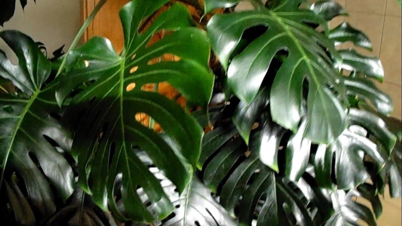 la monstera deliciosa plante gruy re philodendron youtube. Black Bedroom Furniture Sets. Home Design Ideas