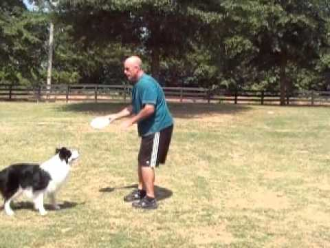Teaching your disc dog the basic 'AROUND' to go out and catch a disc