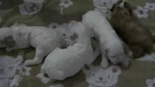 生後2週間のコッカプーの赤ちゃんです。 ヨチヨチしだしました。