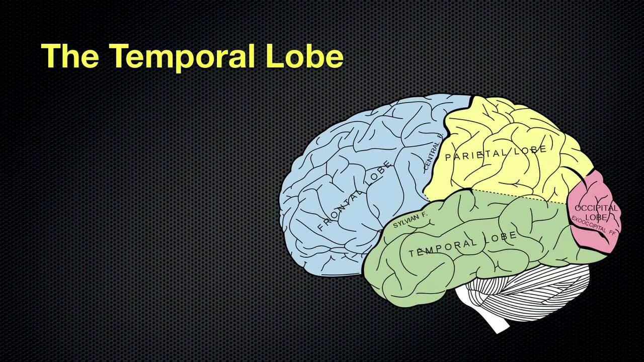temporal lobes The temporal lobe mainly revolves around hearing and selective listening it receives sensory information such as sounds and speech from the ears.